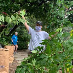 Volunteers trimming shrubs in the Centennial Garden