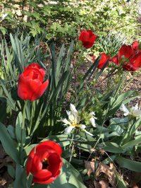 Centennial Garden spring tulip bulbs in bloom